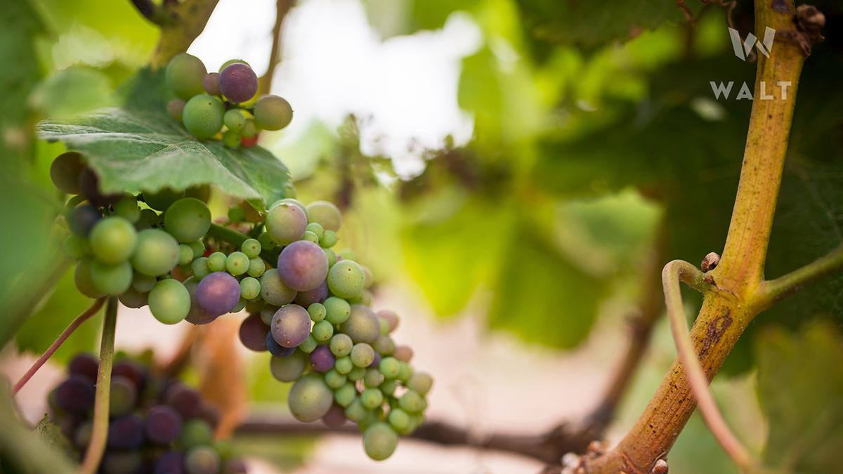 Ripening grapes on the vine at Walt Vineyards