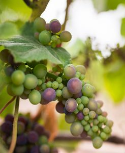 Bunch of green and light purple grapes ripening on a vine at Walt Vineyards.