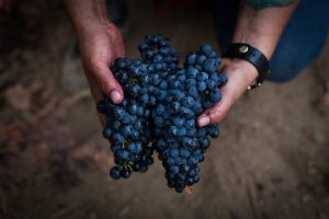 Winegrower's hands holding two bunches of ripe, dark purple grapes